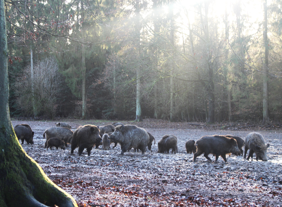 Trapen_Schweine2